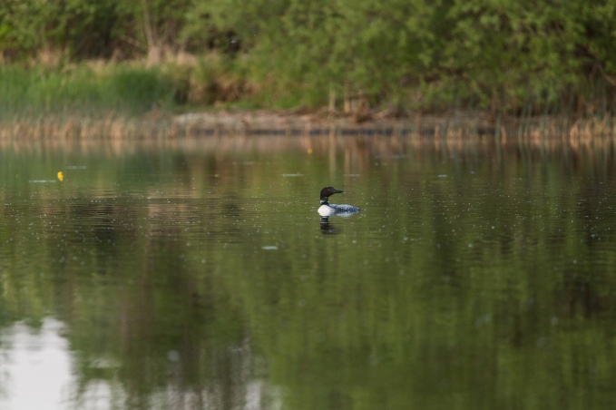 Loon on Dora Lake - Chippewa National Forest