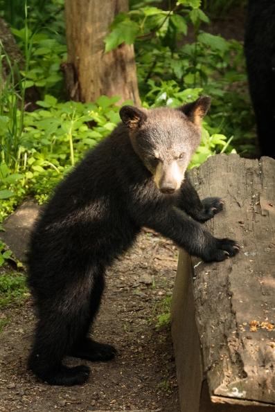 Black Bears - Vince Shute Wildlife Sanctuary