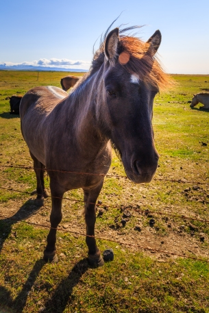 Íshestar, Icelandic Horses - Iceland