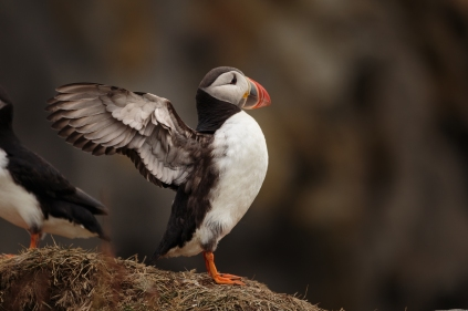 Puffins at Dýrholaey - Iceland