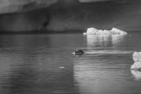 Seals at Jökulsárlón Glacial Lagoon - Iceland