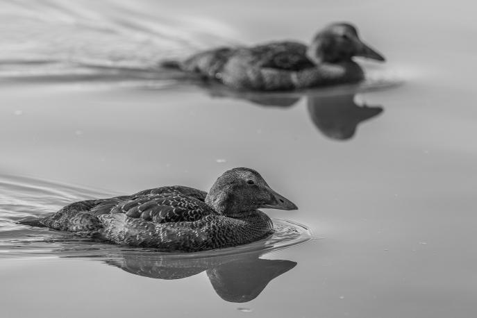 Ducks at Jökulsárlón Glacial Lagoon - Iceland