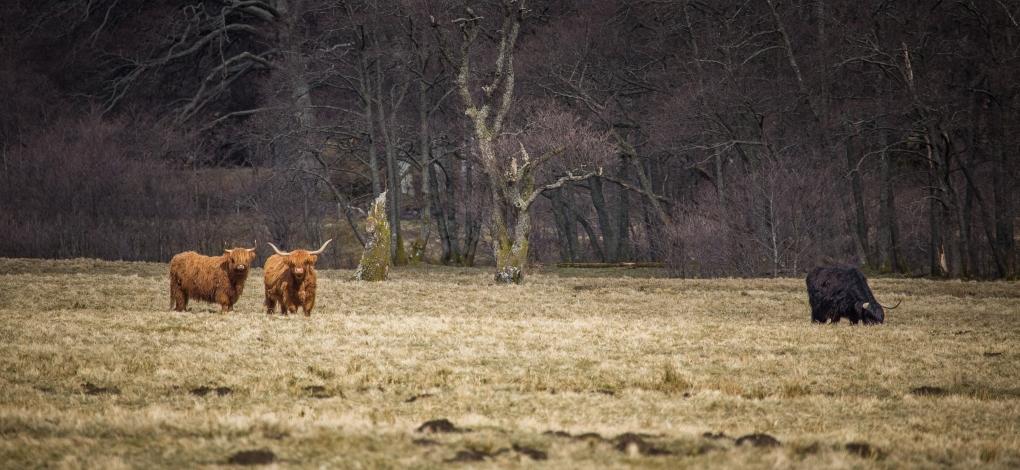 Highland Cows - Glen Nevis, Scotland