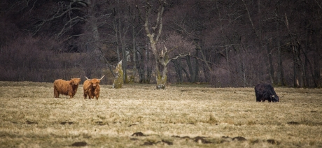 Highland Cows - Glen Nevis, Scotland