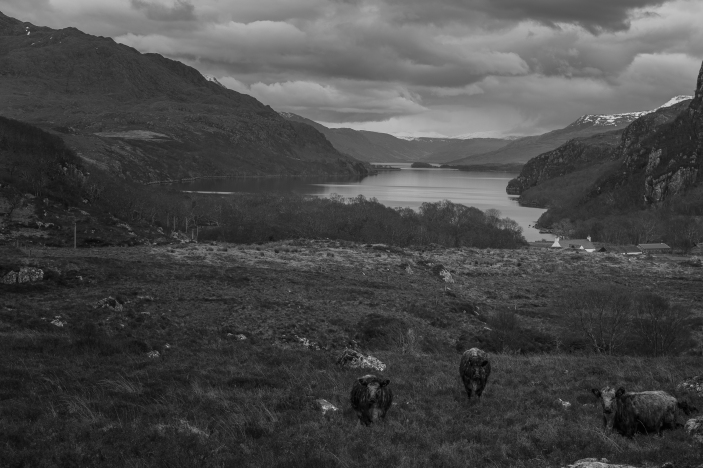 Cows before the Loch - Scotland