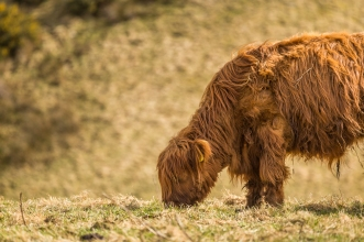 Highland Cows - Near Culloden Battlefield, Inverness, Scotland
