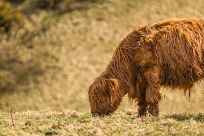 Highland Cows - Near Culloden Battlefield, Inverness, Scotland