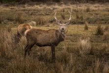 Highland Deer - Highlands Wildlife Park, Cairngorms, Scotland