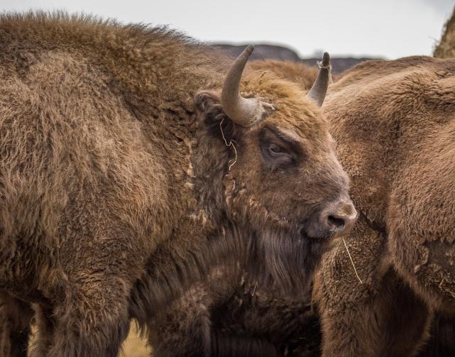 European Bison - Highlands Wildlife Park, Cairngorms, Scotland