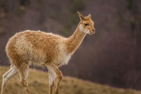 Scottish Alpaca - Highlands Wildlife Park, Cairngorms, Scotland