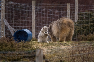 Polar Bear Cub's Meal - Highlands Wildlife Park, Cairngorms, Scotland