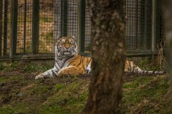 Lounging Tiger - Highlands Wildlife Park, Cairngorms, Scotland