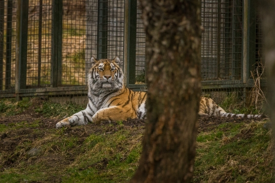 Lounging Tiger - Highlands Wildlife Park, Cairngorms, Scotland