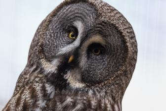 Inquisitive Owl - Highlands Wildlife Park, Cairngorms, Scotland