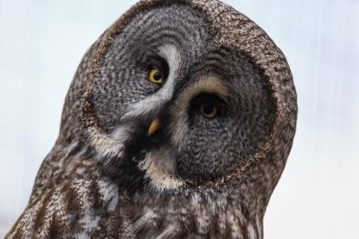 Inquisitive Owl - Highlands Wildlife Park, Cairngorms, Scotland