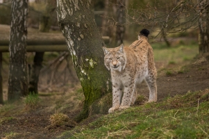 Lynx - Highlands Wildlife Park, Cairngorms, Scotland