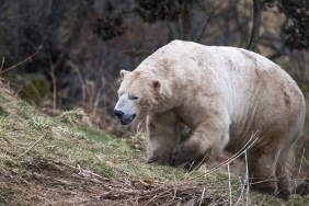 Polar Bear - Highlands Wildlife Park, Cairngorms, Scotland