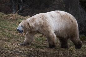 Polar Bear - Highlands Wildlife Park, Cairngorms, Scotland