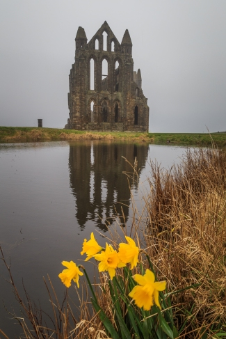 Daffodils of Whitby - Whitby Abbey, Whitby, England