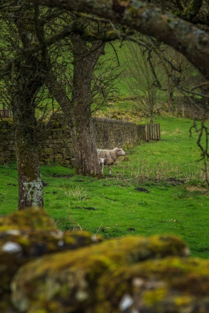 Abbey Sheep - Rievaulx Abbey, North York Moors National Park, England