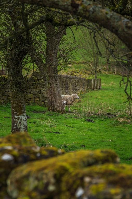 Abbey Sheep - Rievaulx Abbey, North York Moors National Park, England