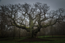 The Major Oak of Robin Hood - Sherwood Forest, England