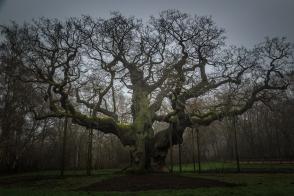 The Major Oak of Robin Hood - Sherwood Forest, England