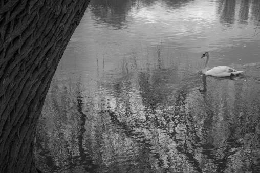 Swan on a Lake - Stratford upon Avon, England
