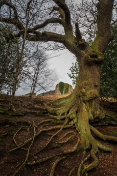 Gnarled Roots - Beeston Castle, Cheshire, England