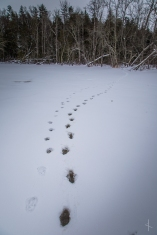 Newton Lake Wolf and Moose? Tracks - Boundary Waters Canoe Area, Minnesota