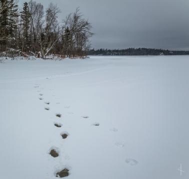 Newton Lake Wolf and Moose? Tracks - Boundary Waters Canoe Area, Minnesota