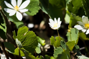 Bloodroot Flower - Minnesota