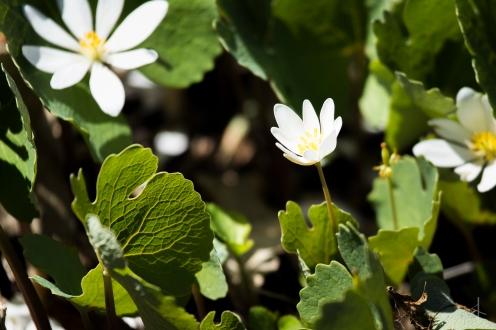 Bloodroot Flower - Minnesota