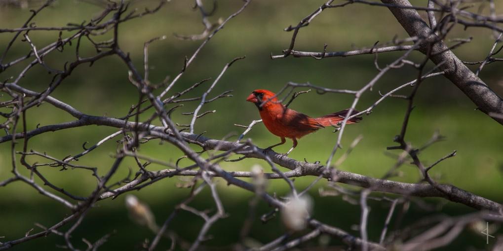 Cardinal - Minnesota