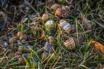 Snail shells - Minnesota