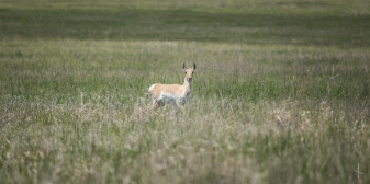 Pronghorn in Pawnee Buttes - Colorado