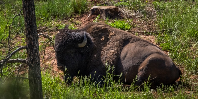 Buffalo - Custer State Park, South Dakota