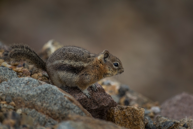 Chipmunk - Rainbow Curve, Rocky Mountain National Park, Colorado