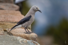 Clark's Nutcracker - Rainbow Curve, Rocky Mountain National Park, Colorado
