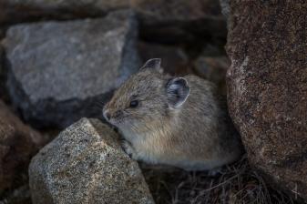 Pika in Rocky Mountain National Park - Colorado