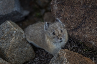 Pika in Rocky Mountain National Park - Colorado