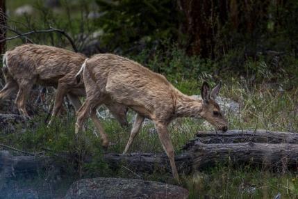 Deer in Rocky Mountain National Park - Colorado