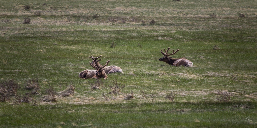 Elk in Rocky Mountain National Park - Colorado