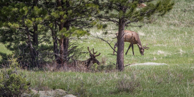 Elk in Rocky Mountain National Park - Colorado